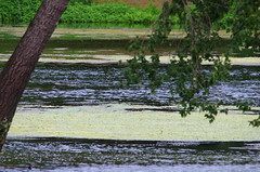 807 juillet 2017 - au bord du Cher entre Saint-Georges-sur-Cher et Chenonceau (paspog) Tags: cher france rivière river fleuve fluss juillet july juli 2017 algues