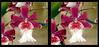 Longwood Gardens Flowers 12 - Parallel 3D (DarkOnus) Tags: pennsylvania bucks county panasonic lumix dmcfz35 3d stereogram stereography stereo darkonus longwood gardens flowers scenic scenery flower botanical garden orchid orchids pareidolia macro parallel