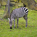 Cleveland Metroparks Zoo 11-11-2014 - Grants Zebra 2