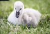 Cygnet (JKYChang) Tags: birdography albertparklake cygnets springtimefun