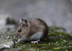Long-tailed Fieldmouse (Mukumbura) Tags: longtailedfieldmouse woodmouse apodemussylvaticus mouse mice animal rodent garden nature england seed birdseed eating food foraging hedge ground earth sunflower moss portrait