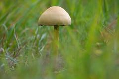 Fungus (wietsej) Tags: fungus bulskampveld beernem belgium mushroom paddestoel nature gras rx10m4 mark iv sony wietse jongsma rx10iv