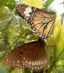 Sanjay Gandhi National Park: butterfly - Danaus genutia, the common tiger and Euploea core, the common crow (John Steedman) Tags: bombay mumbai मुंबई india maharashtra महाराष्ट्र sanjaygandhinationalpark butterfly danausgenutia commontiger euploeacore commoncrow