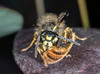 A quick snack (ukmjk) Tags: wasp nikon nikkor d500 105vr cokin macro flash staffordshire stoke insect bee honey