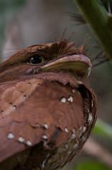 Sri Lankan Frogmouth (A_K_B) Tags: srilankafrogmouth 200500mm nikon girish westernghat camouflage southindia endemic salimalisanctuary thattekad nilgiri bird frogmouth cylone