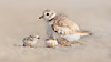 Seeking Shelter (Ania Tuzel Photography) Tags: pipingplover beach cute fluffy birdphotography protective endangered newborn wildlife