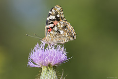 Butterfly 2017-145 (michaelramsdell1967) Tags: field beauty nature macro flower animals bokeh beautiful closeup orange butterfly animal pretty green insect vivid purple wildlife thistle colorful zen wild vibrant bug butterflies meadow bugs wilderness upclose insects