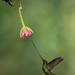 sword-billed-hummingbird