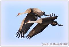 They're Back! (ctofcsco) Tags: 11250 20x 2x 7d 7dclassic 7dmark1 7dmarki 800mm canon colorado didnotfire digital ef2x ef2xii ef400mmf28liiusm20x eos eos7d esplora explore explored extender f63 flashoff iso160 photo pic pretty renown shutterspeedpriorityae spot supertelephoto teleconverter telephoto unitedstates usa 2017 alamosa birds cranes geo:lat=3745997671 geo:lon=10614014486 geotagged image landscape migration montevista montevistanwr nationalwildliferefuge nature northamerica photograph picture sanluisvalley sandhillcrane sandhillcranefestival spring wildlife wwwmvcranefestorg zinzer bird sky animal
