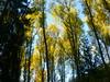 Herbstlicher Pappelwald (Jörg Paul Kaspari) Tags: manderscheid heidsmühle diebergkraterseetour wanderung herbst autumn fall 2017 pappel pappelwald wald herbstfärbung populus