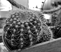 Cactus in a wooden crate (dksesh) Tags: seshadri dhanakoti harita appleiphone7 appleiphone iphone7 officecafe sesh seshfamily haritasya hevilambisamvatsara apple iphone woking