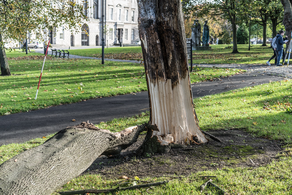 THE DAY AFTER OPHELIA VISITED DUBLIN [DAMAGED TREE IN KINGS INNS PARK]-133293