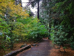 A park trail in autumn (walneylad) Tags: westlynn lynnvalley northvancouver britishcolumbia canada park parkland forest rainforest urbanforest woods woodland october fall autumn afternoon trail trees leaves ferns clouds rain wet green yellow brown nature scenery view eastviewpark