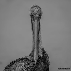 Annoyed with my presence...Brown Pelican (flintframer) Tags: brown pelican gulf shores alabama america american black white bw wow dattilo canon eos 7d markii ef600mm 14x nature wildlife portrait