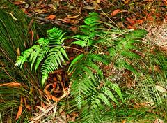 Ferny floor (elphweb) Tags: hdr highdynamicrange grass leaves forest plants bush australia nsw coastal ferns bracken brackenfern