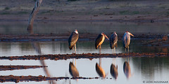 Get-together at Sable Dam (leendert3) Tags: leonmolenaar wildlife birds krugernationalpark southafrica nature maraboustork ngc coth5 sunrays5 npc