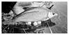 Silber (georgsfoto) Tags: plötz rotauge rutilusrutilus roach angeln angling fishing snapwithafujix10