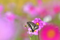 コスモスとキアゲハ (myu-myu) Tags: nature insect butterfly papiliomachaon cosmos nikon d500 昆虫 チョウ アゲハ キアゲハ コスモス japan