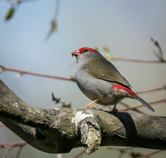 Red-browed Finch (Matt OZW) Tags: australia birds victoria mansfield yea places bcc