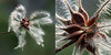 clematis diptych (marianna_a.) Tags: clematis seeds macro diptych two center centre montrealbotanicalgarden p1570749 mariannaarmata