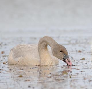Cygne trompette juvénile  -  Trumpeter Swan
