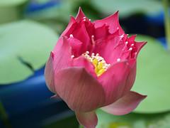 Nelumbo nucifera 'Russell' Wahgarden Thailand 8 (Klong15 Waterlily) Tags: russell nelumbo sacredlotus lotus lotusflower flower landscape wahgarden
