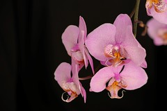 Orchids (geraldineh.dutilly) Tags: flower pink black