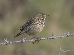 Meadow Pipit at Ferry Meadows 30/10/17. (johnatkins2008) Tags: meadowpipit field grass wildlife photography birds fence ferrymeadows nenepark johnatkins2008 countryside grassland