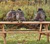 Wild Turkey Preening Bench, Gisland Farm (Bill Bunn) Tags: wildturkeys falmouth maine