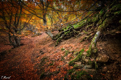 Raices / Autum explosion (tmuriel67) Tags: colores autumn otoño colours tree roots arboles bosque faedodeciñera hayas woods paisaje outdoors naturaleza nature