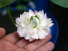 Nelumbo nucifera 'Fen Ling Long 13' Lotus Wahgarden 010 (Klong15 Waterlily) Tags: lotus lotusflower flower pond lotusland landscape smalllotus chineselotus thailandlotus garden wahgarden