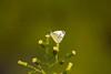 _U7A6566 (rpealit) Tags: scenery wildlife nature east hatchery alumni field hackettstown cabbage white butterfly