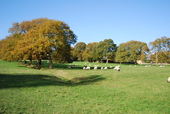 Sheep at Priestley Green (Halliwell_Michael ## Offline mostlyl ##) Tags: brighouse westyorkshire nikond40x 2017 autumn priestleygreen trees autumncolour farmland sheep landscapes pasture brighouseecho saariysqualitypictures