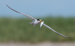 Least Tern (PeterBrannon) Tags: beach bird fish florida leasttern nature pinellascounty sand sternulaantillarum tampa wildlife adulttern feeding finflight