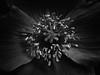 poppy (marianna_a.) Tags: poppy p1050256 bw flower macro mariannaarmata lakelouise delicate centre center stamens petals monochrome