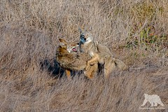 Coyote Couple (fascinationwildlife) Tags: animal mammal wild wildlife nature natur national park point reyes field coyote koyote couple fall autumn california usa america coast