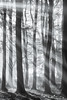 Badbury Light Rays (Stu Meech) Tags: sunrise fog mist sunbeams bw badbury clump oxfordshire d750 70200 leefilters