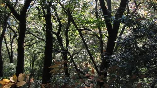 treetops along the Gyoji-ga-dake trail, Awatabe
