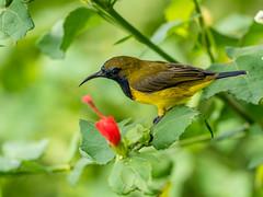 20170923-EM123970 (shutterblades) Tags: birds olivebackedsunbird olympusem1mkii olympusmzuiko300mmf4pro riversafari singaporezoo
