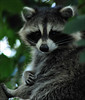 Being Watched (John Neziol) Tags: jrneziolphotography nikon nikondslr nikoncamera nikond80 nature naturallight portrait animal animalphotography outdoor wildlife raccoon bandit mammal tree brantford beautiful bokeh bright closeup cute animaladdiction theworldoutdoors