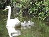 Mum and kids (deborahmburnett) Tags: cygnets swans canal wildlife nature outdoors