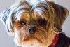chewie. october 2017 (timp37) Tags: dog pet october illinois chewie 2017