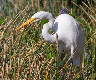 IMG_8336 Great Egret