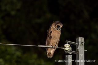 褐林鴞 IMG_2104