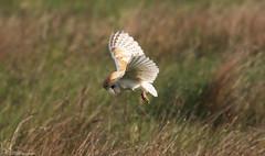 Searching (Steve C Waddingham) Tags: stevenwaddinghamphotography bird british barn wild wildlife prey voles mice rodents nature northumberland countryside coast canon