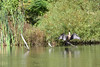 DOUBLE CRESTED CORMORANT (Bill Vrtar Photo) Tags: millcreekpark lilypond boardman ohio vrtarsmugmugcom cormorant
