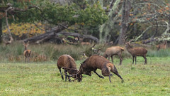 When big Irish reds collide... (Derek O'Bryan) Tags: deer stags rut red fur brown colour movement animal ireland irish mammal anger doe male dominent fantasticnature