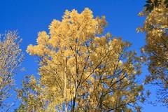 Nature in autumn (davidecerrato) Tags: efs1855mm explore tree yellow nature autumn fall eos30d canon