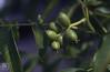 Juglans regia walnuts in June. Lake Worth (Mary Gillham Archive Project) Tags: 55134 austria juglansregia lakeworth planttree walnut