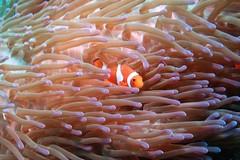 Clown fish (sarah.handebeaux) Tags: north raja ampat indonesia paradise tropical reef colour